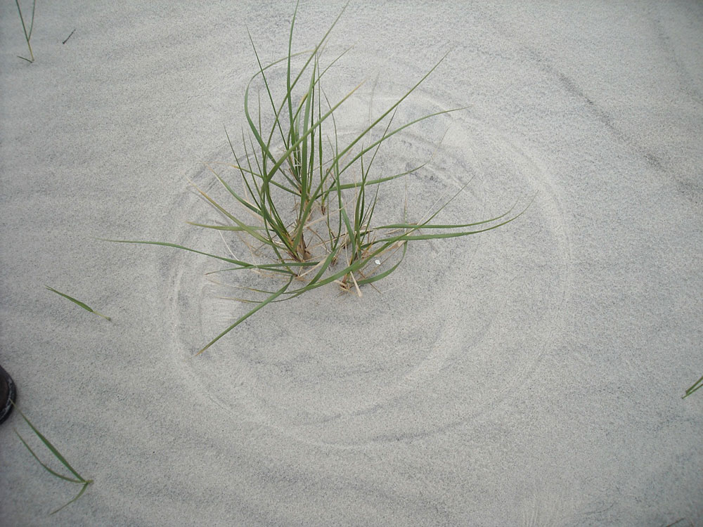 Grass in sand
